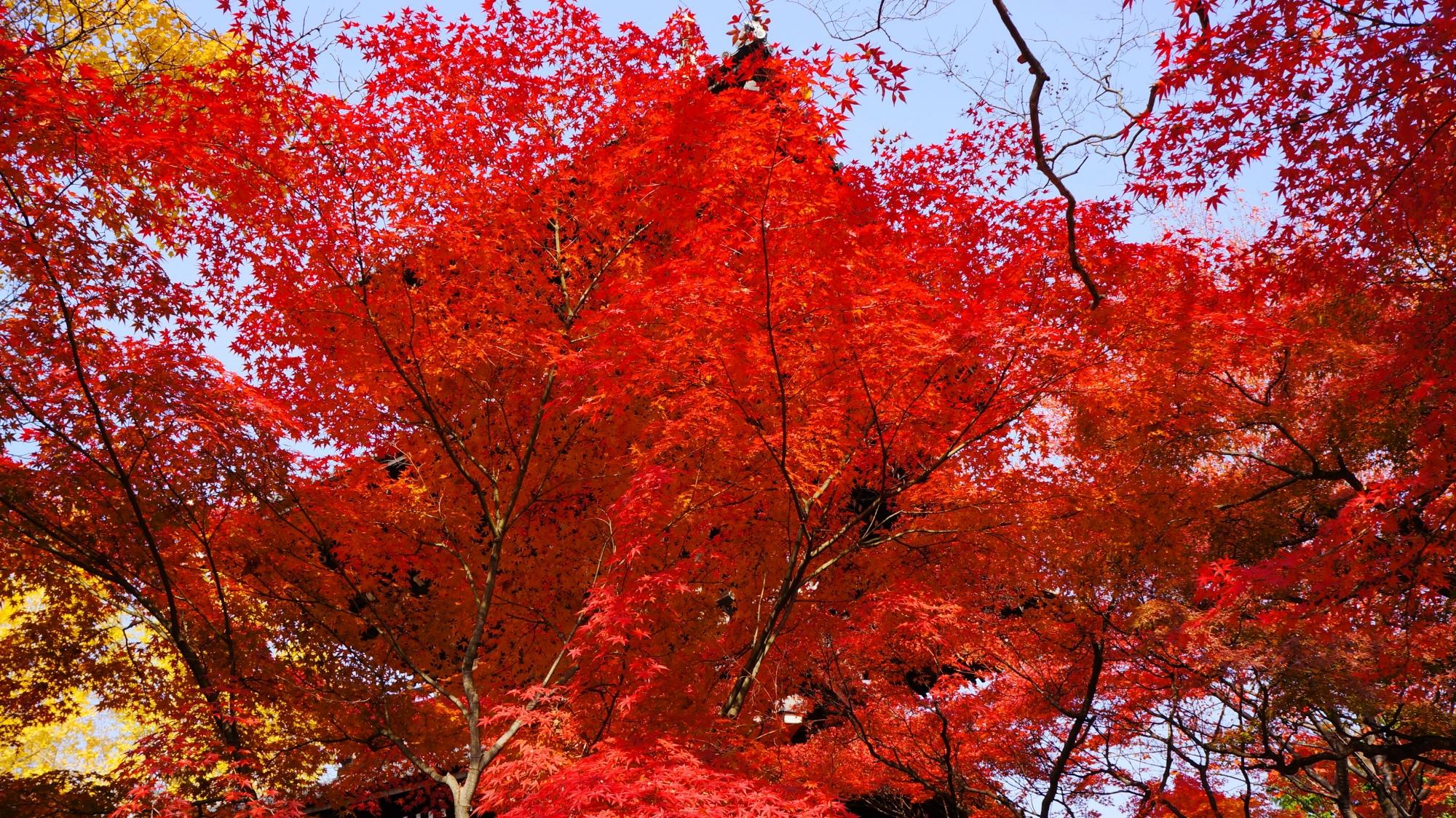 雄大な三重塔と空を彩る真っ赤な紅葉