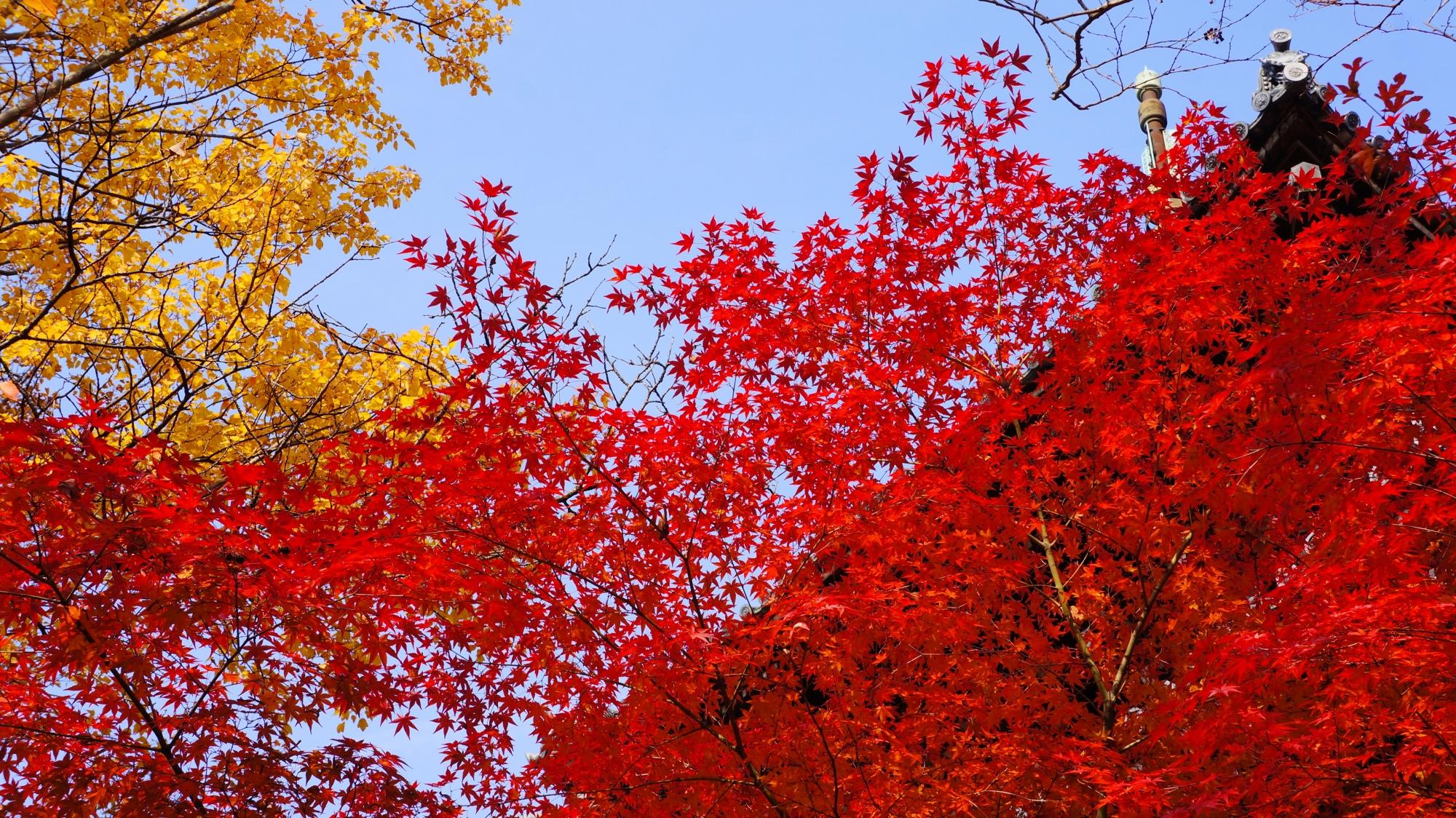 葉に黄色い彩りを添える銀杏