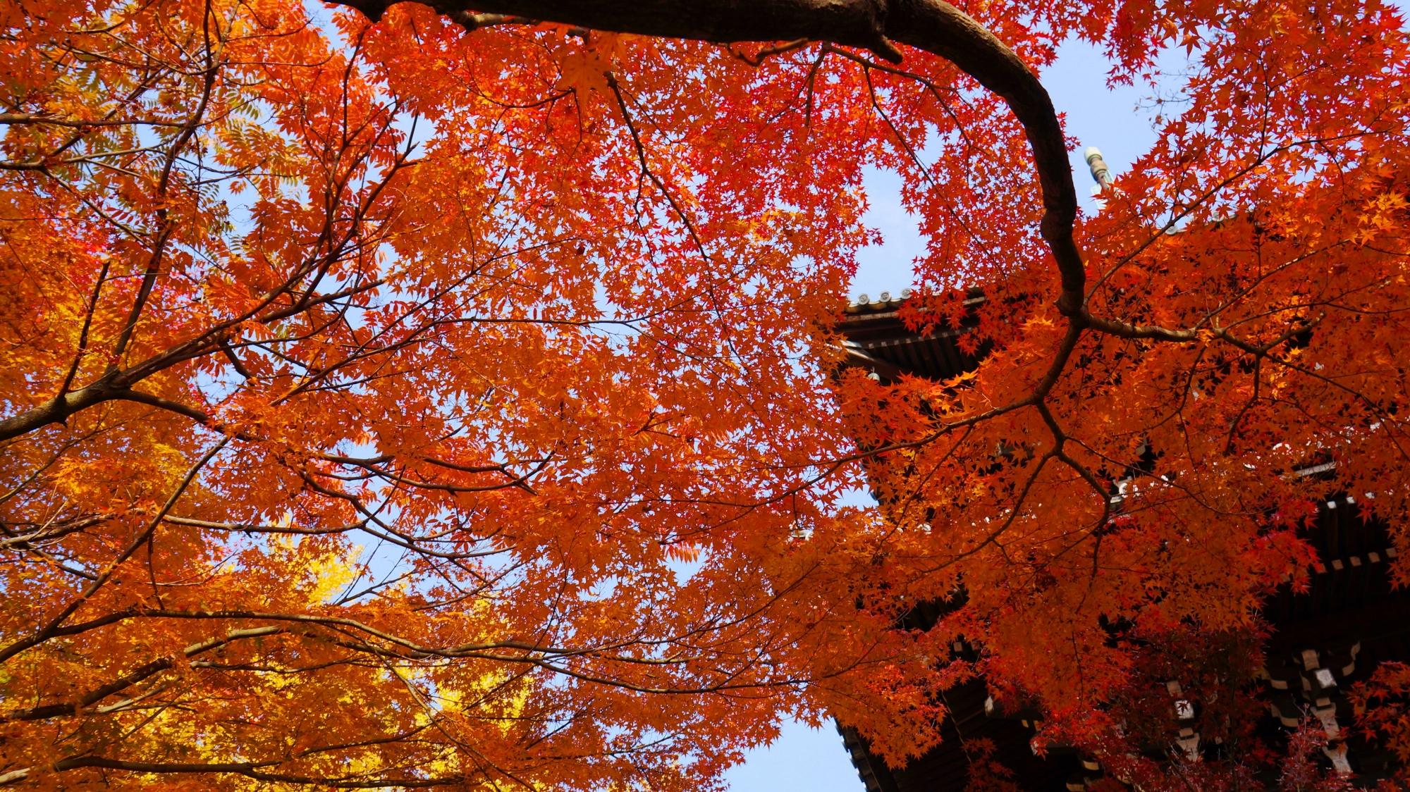 秋色の天井を作る立派な紅葉