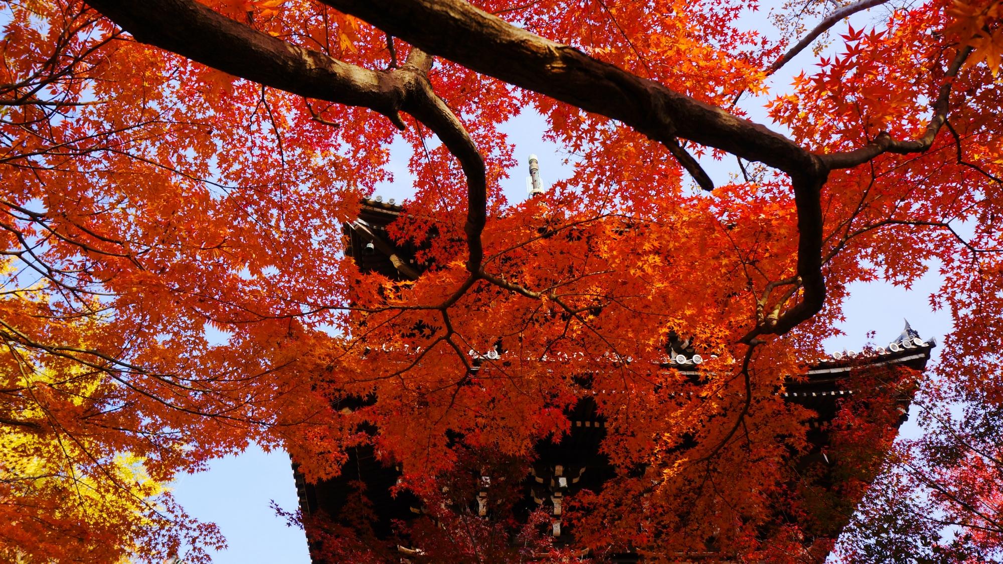 優雅に枝を伸ばして三重塔を華やぐ紅葉