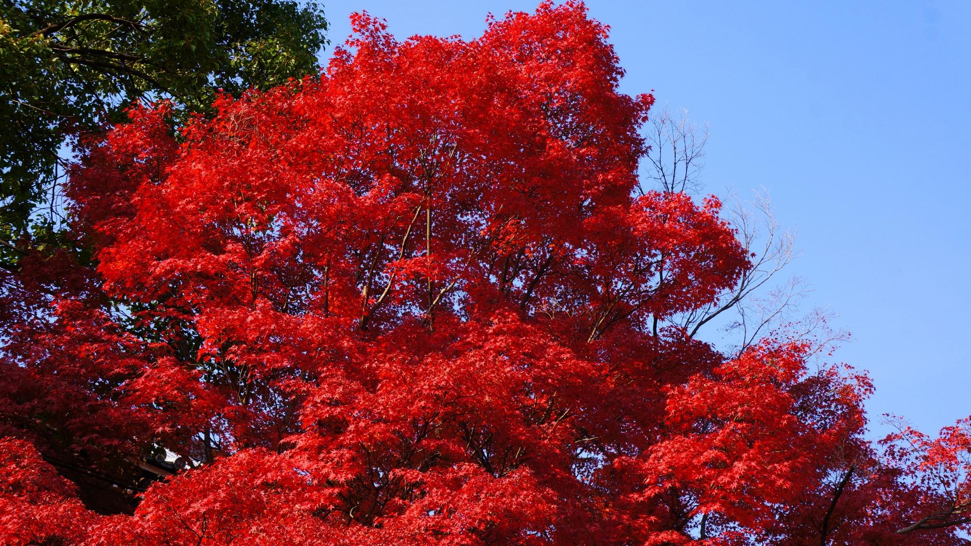 東坂の青空に映える鮮やかな紅葉