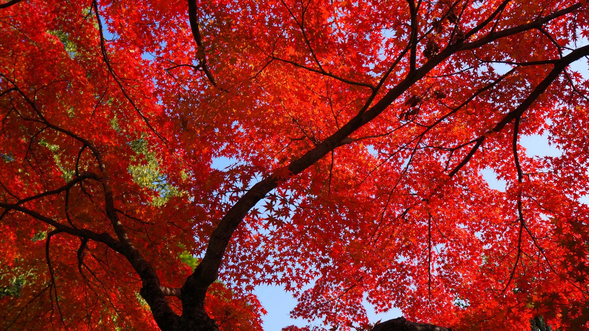 快晴の空を覆う真っ赤な紅葉