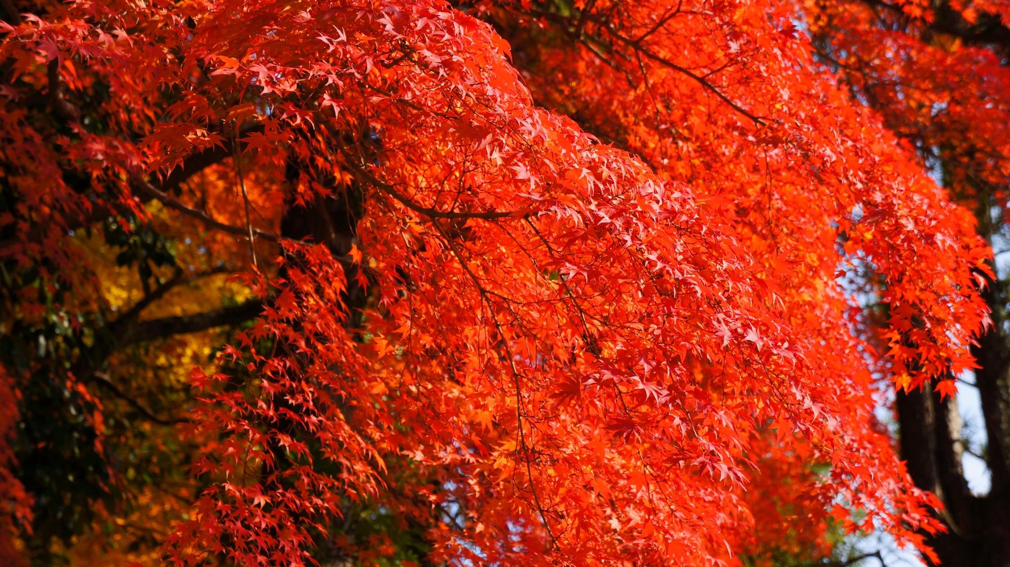 日が当たって煌びやかな赤い紅葉