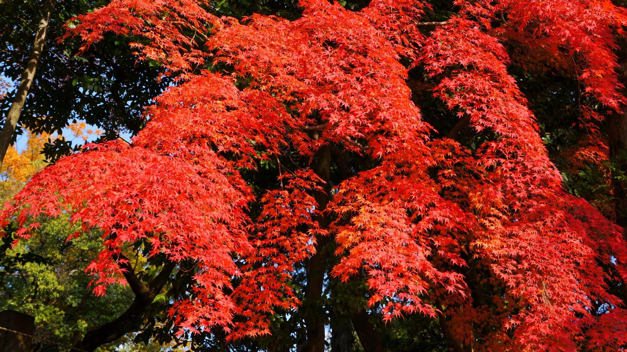 綺麗に色づく素晴らしい紅葉