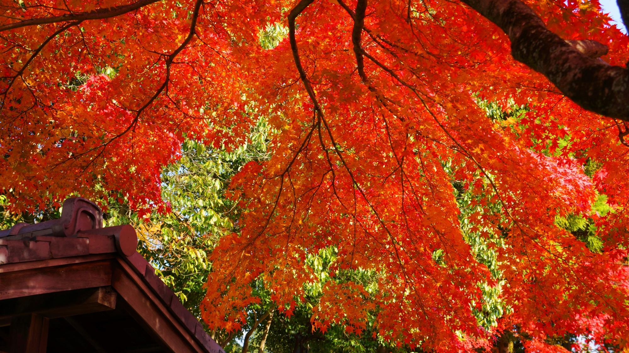 金戒光明寺のオレンジ色の華やかな紅葉