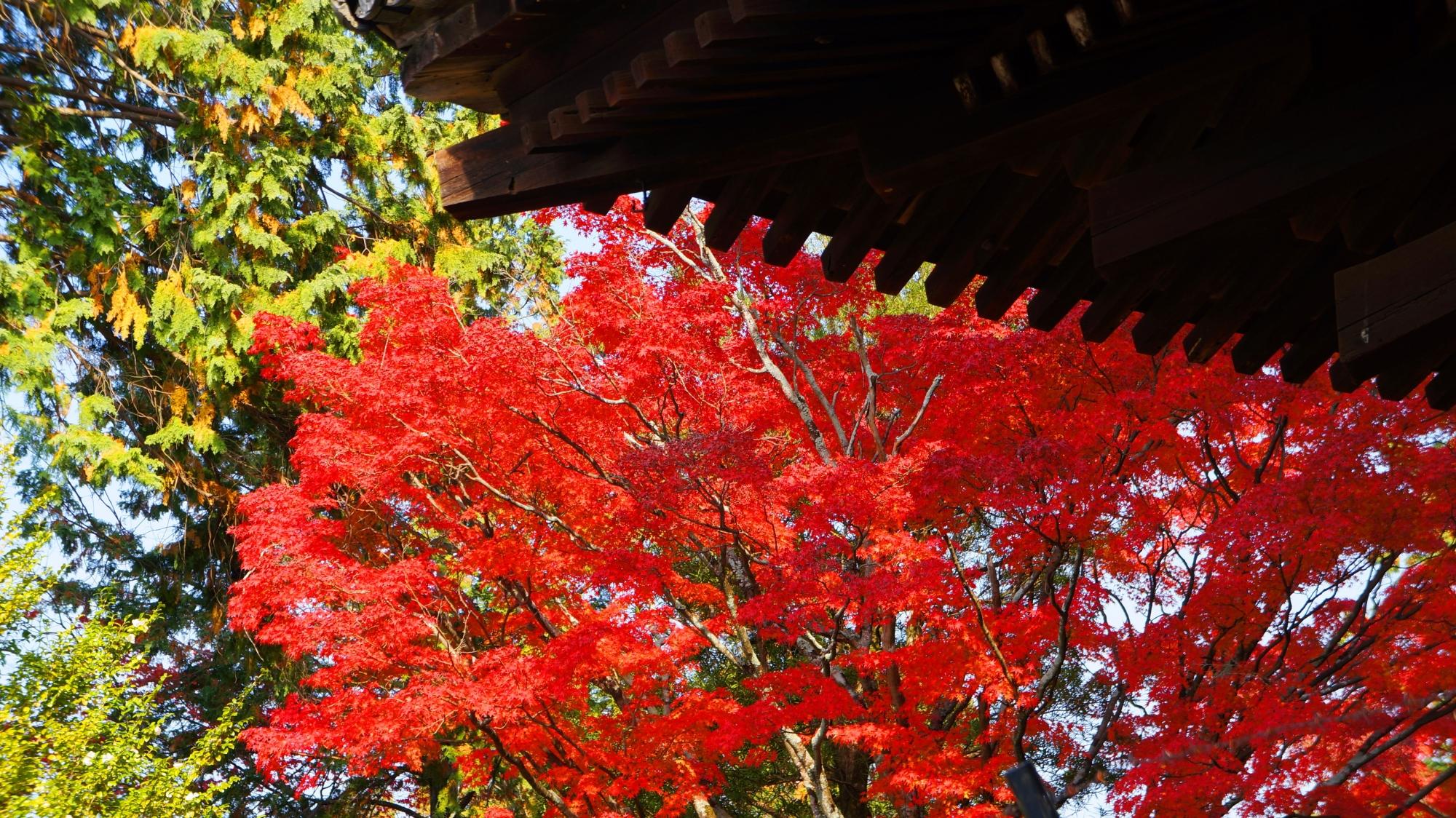鮮烈な赤さの紅葉