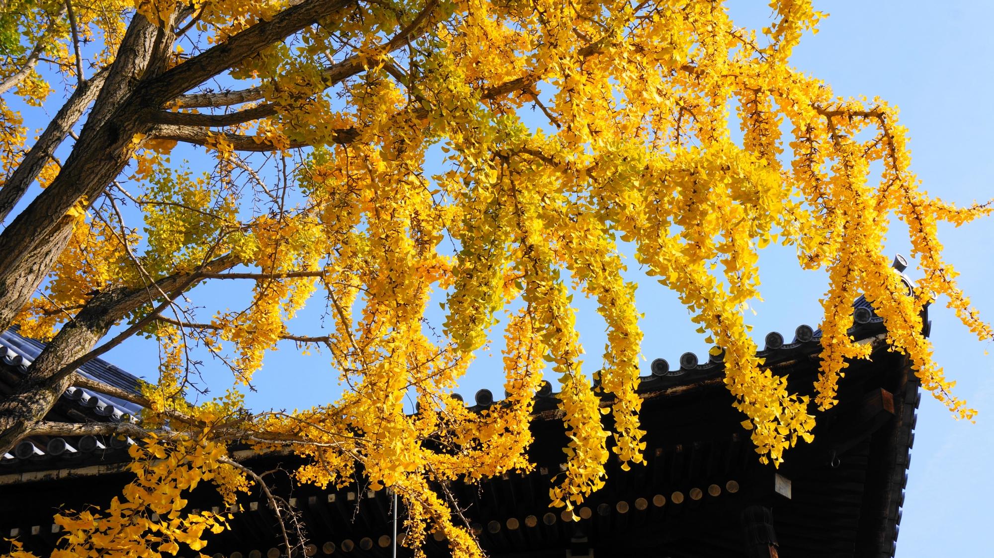 枝垂れの見事な黄色い銀杏