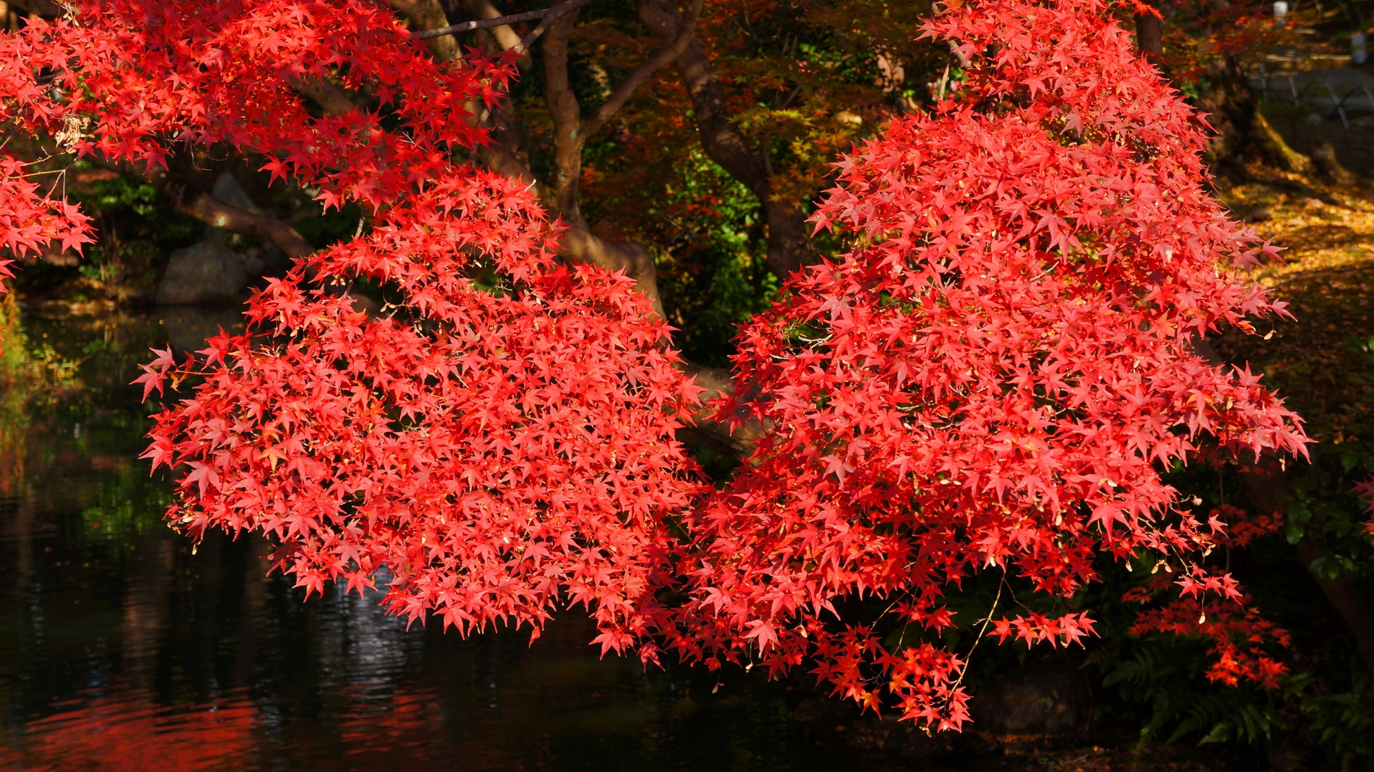 方丈庭園の見ごろの美しい紅葉