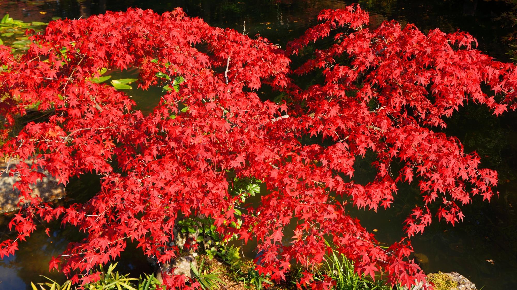 金戒光明寺方丈北庭の情熱的な真紅の紅葉