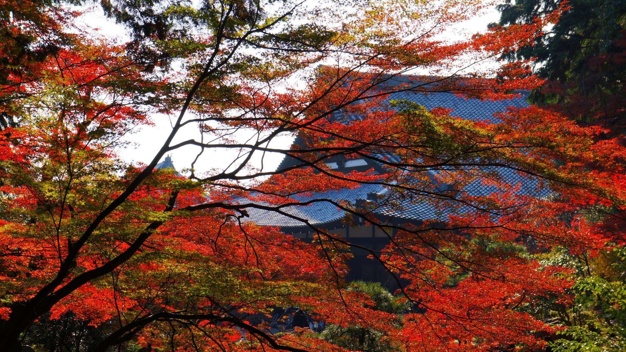 金戒光明寺の方丈をつつむ秋の絵になる紅葉
