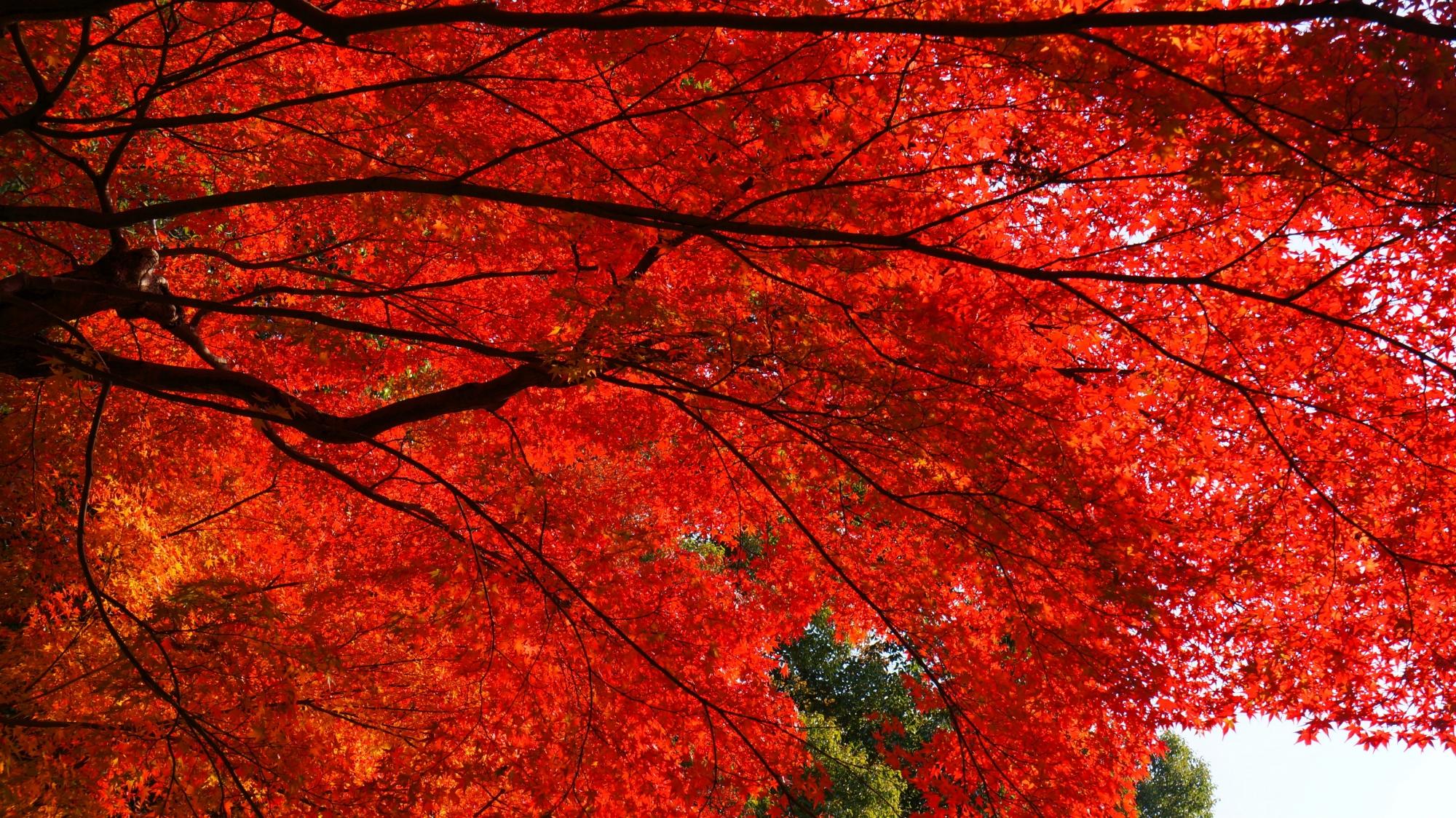 空を覆う真っ赤な圧巻の紅葉