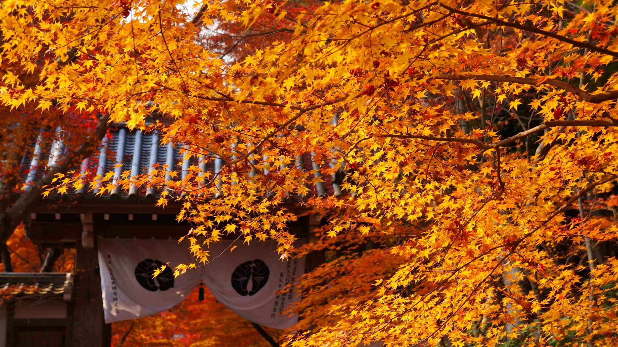 素晴らしい色づきと輝きの煌く紅葉