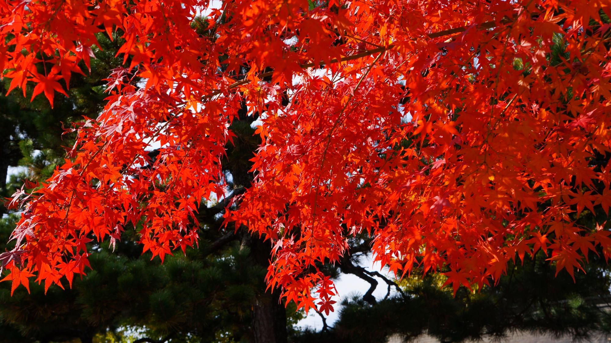 日を浴びて煌く赤い紅葉