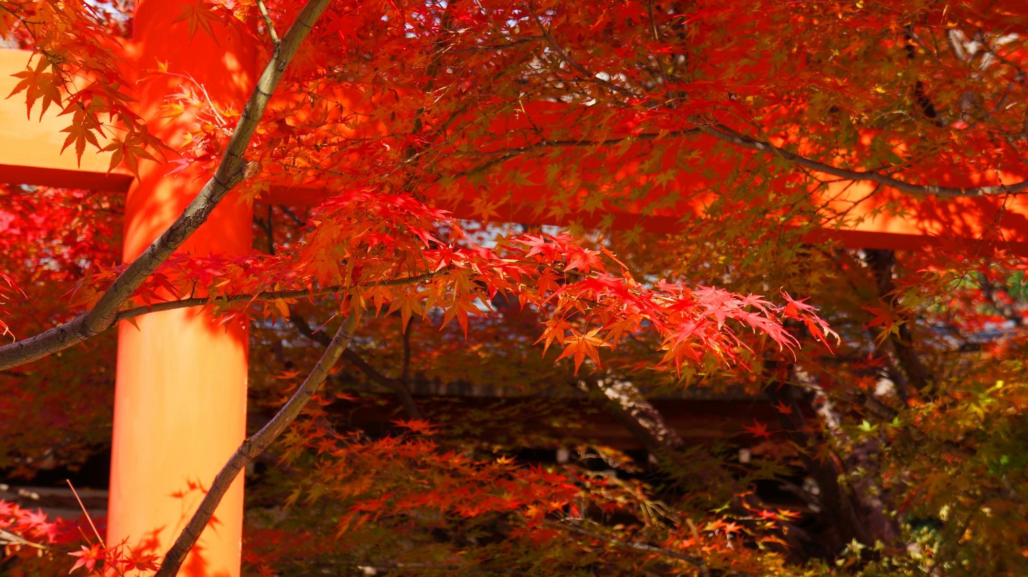 秋風に揺らめく鮮やかな紅葉