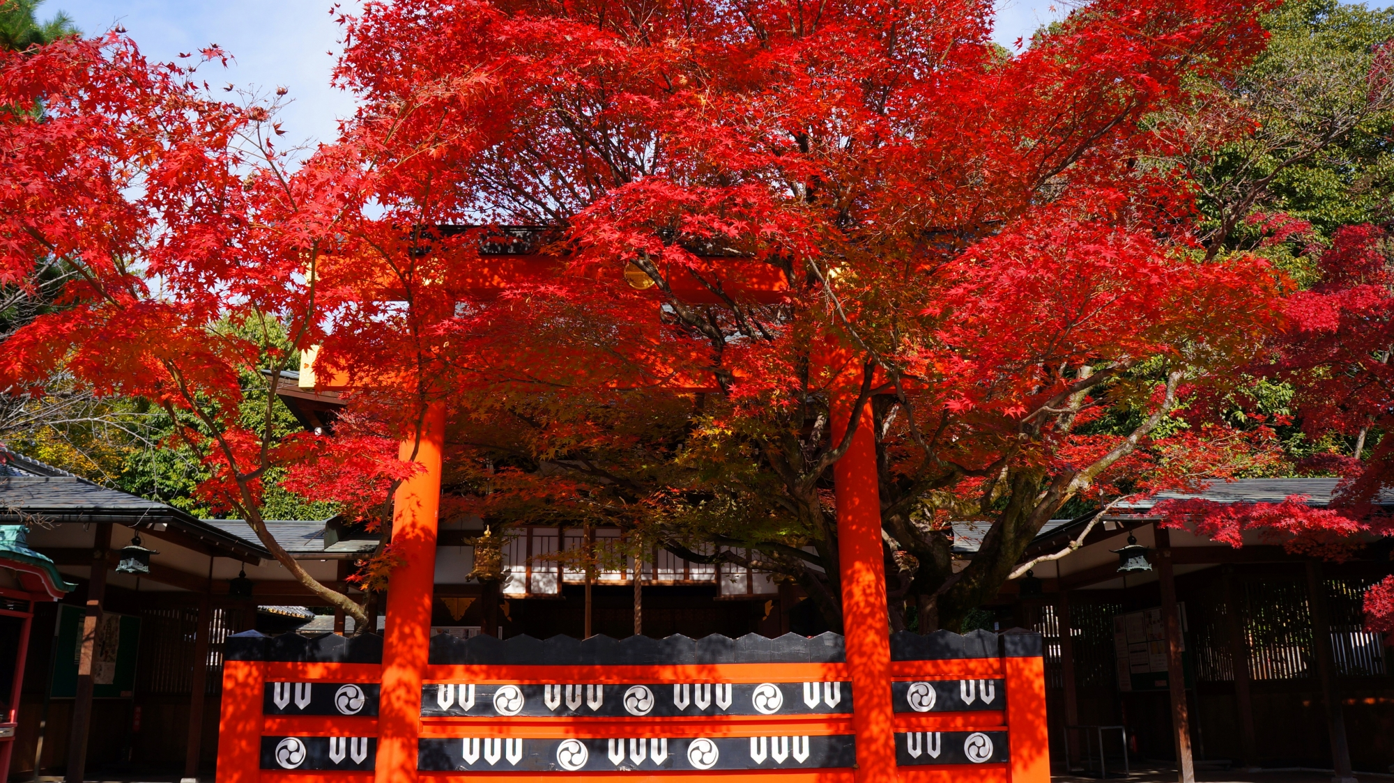 赤い鳥居に良く似合う真紅の紅葉