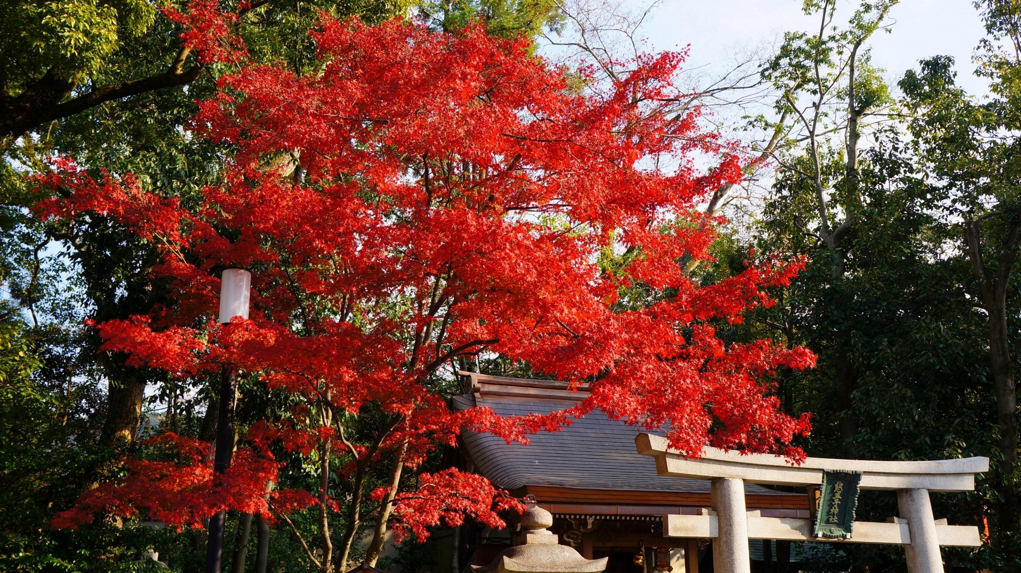 悪王子社の燃えるような鮮烈な紅葉