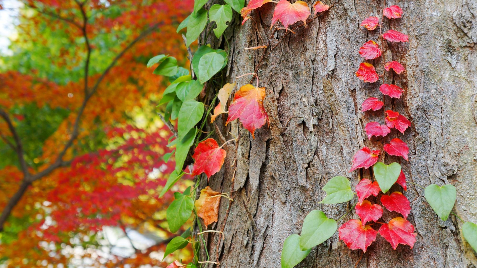 八坂神社の本殿付近の小さく可愛い紅葉