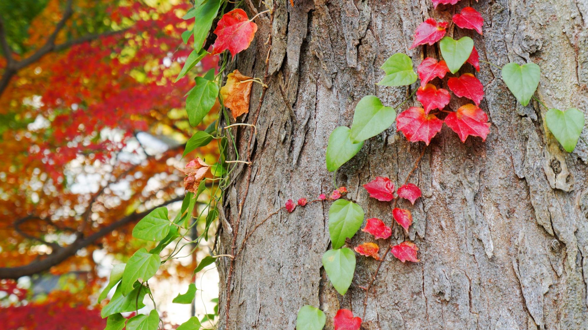 本殿付近のつる性植物の紅葉