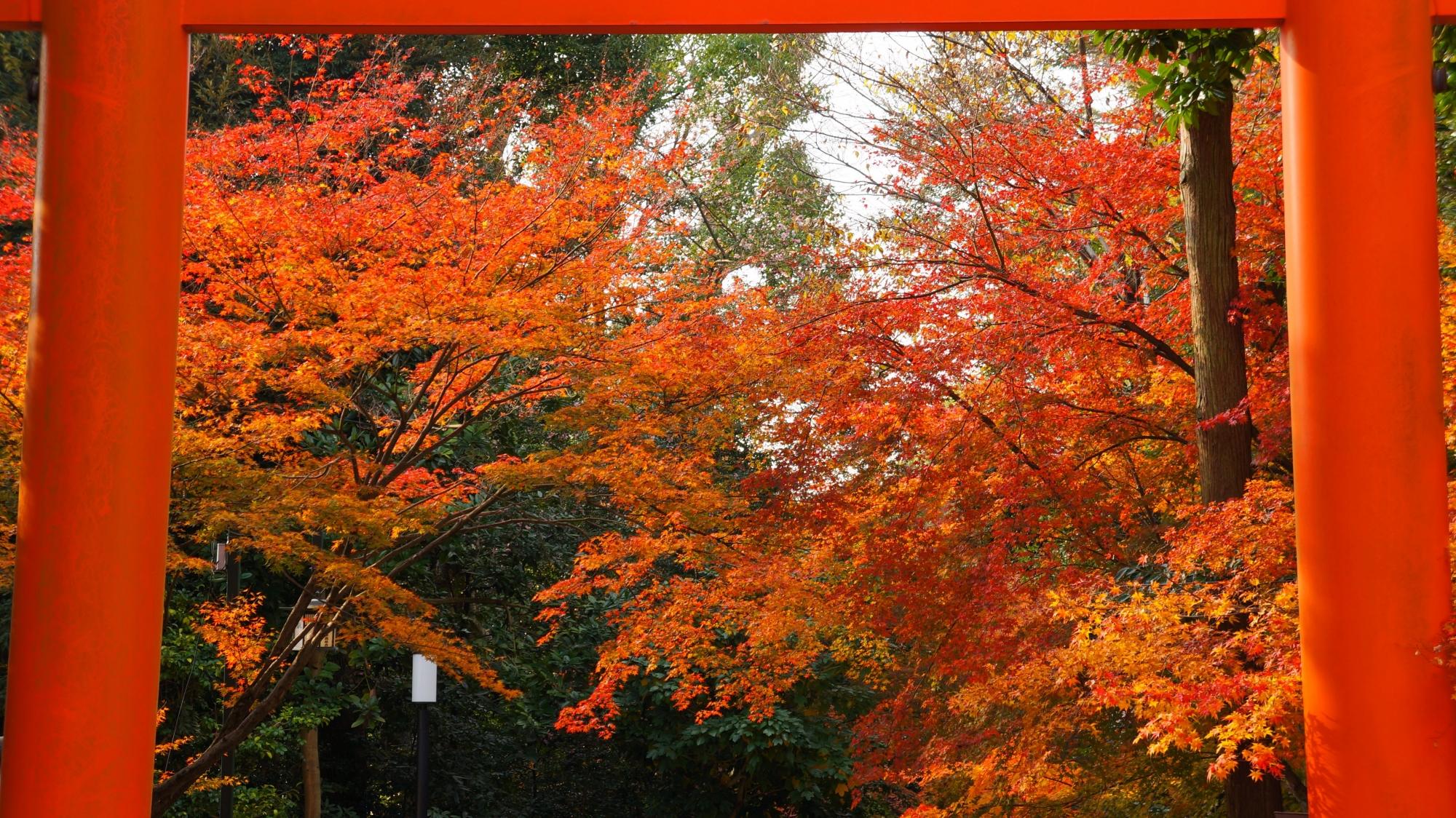 鳥居の赤い枠の中で鮮やかに色づく紅葉