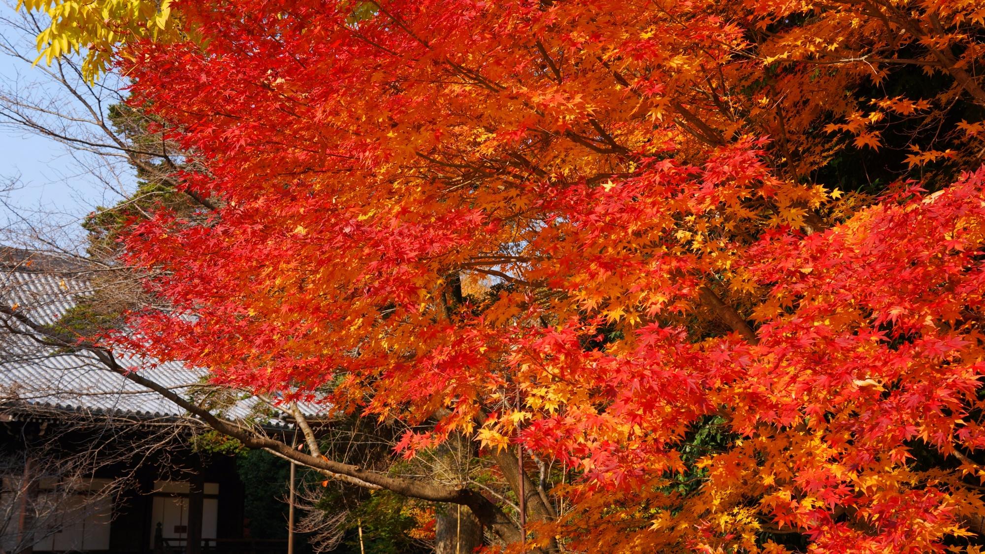 光明寺の阿弥陀堂をつつむ溢れる鮮やかな紅葉