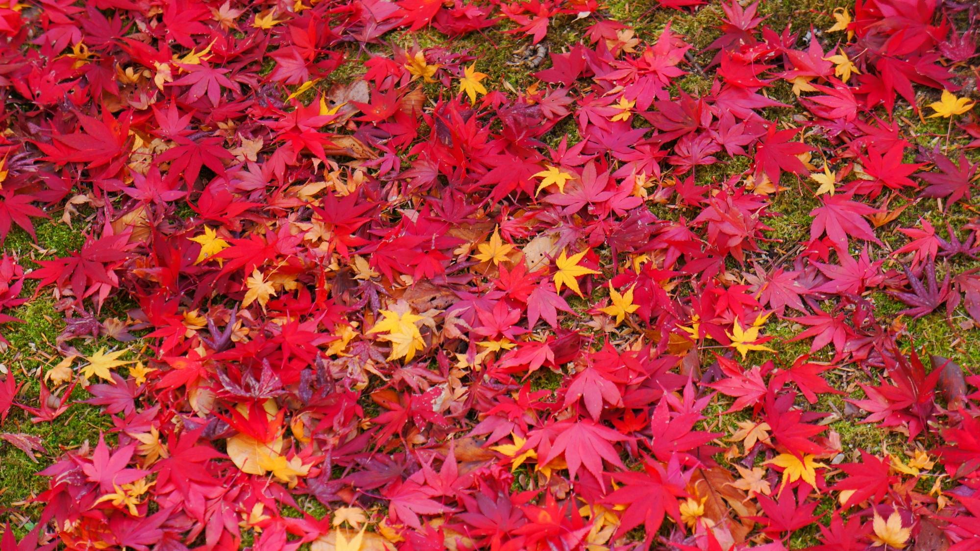 苔を彩る多彩な散り紅葉