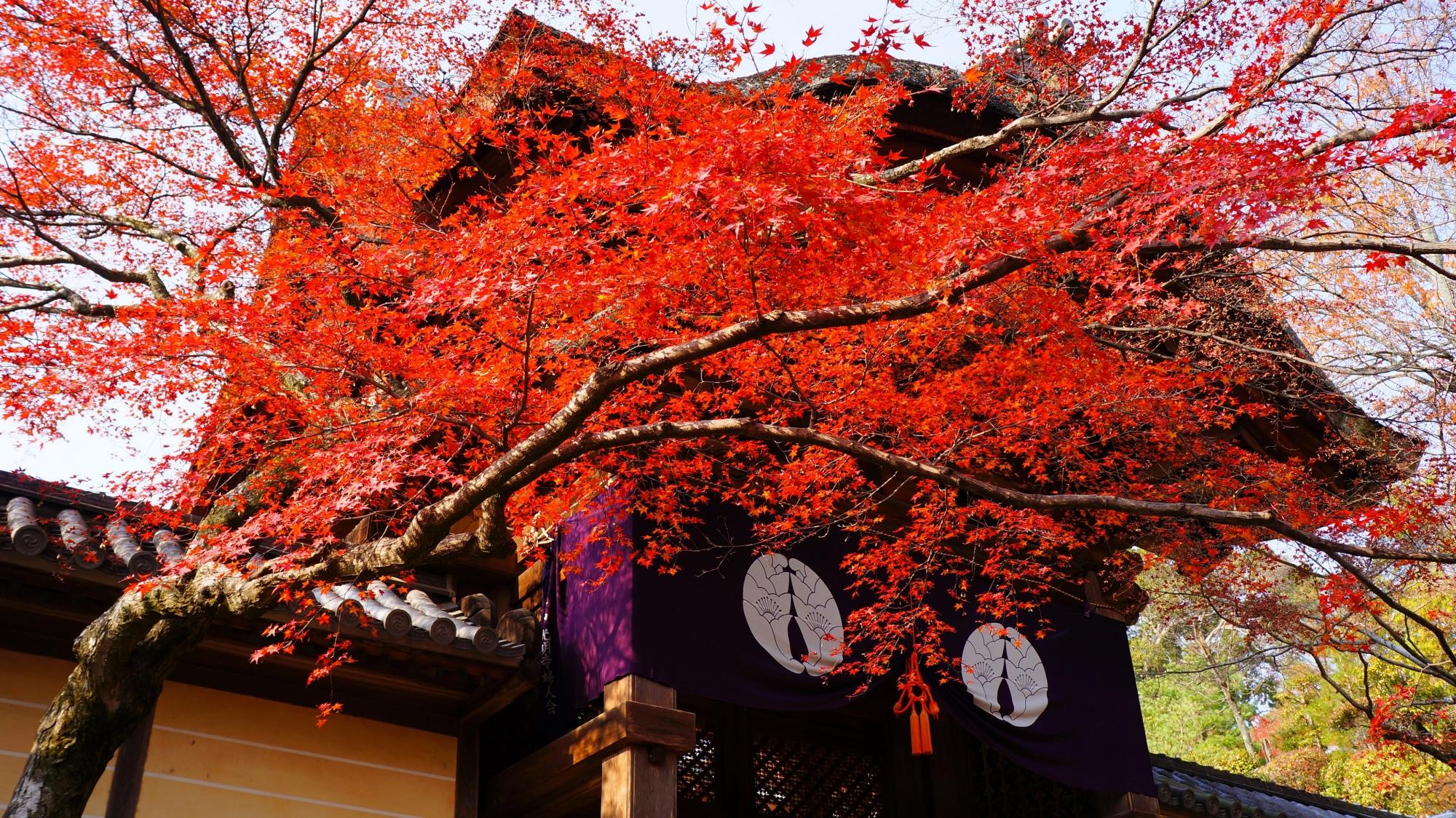 煌く真っ赤な紅葉に彩られる勅使門と寺紋