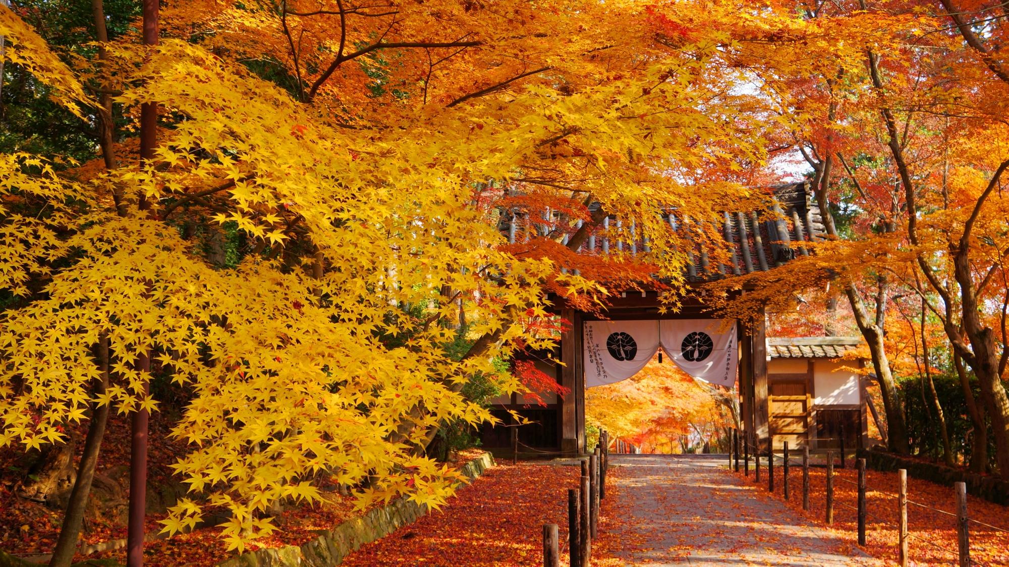 黄色い絶品の紅葉が華やぐ参道と薬医門