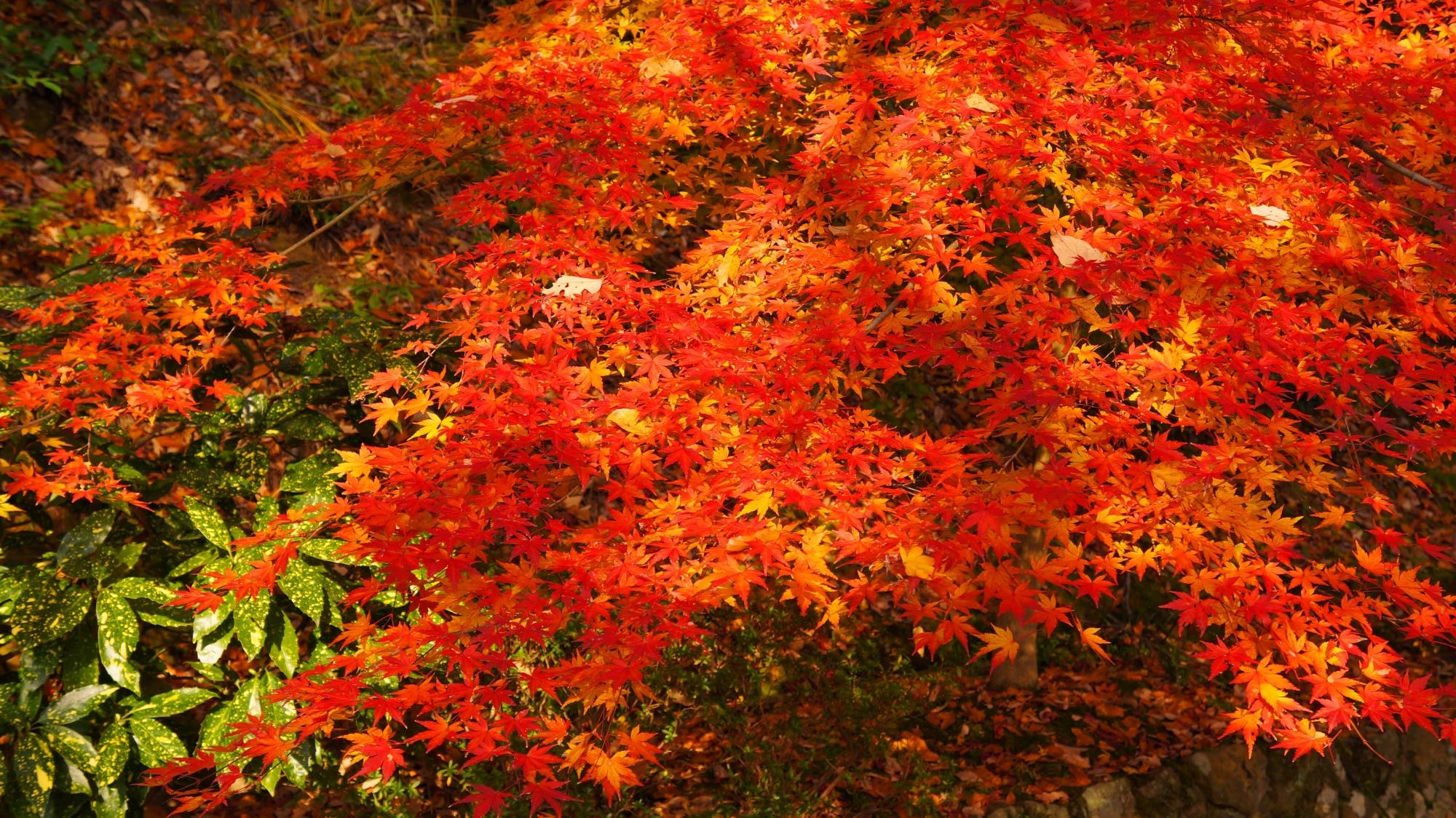 緑を染める輝く紅葉
