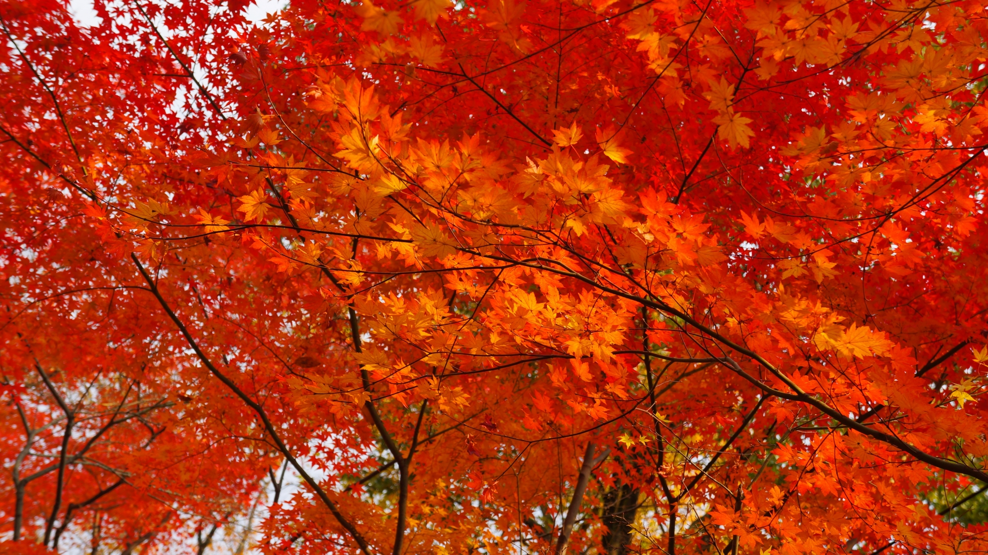 光明寺の薬医門付近の最高の色づきの紅葉