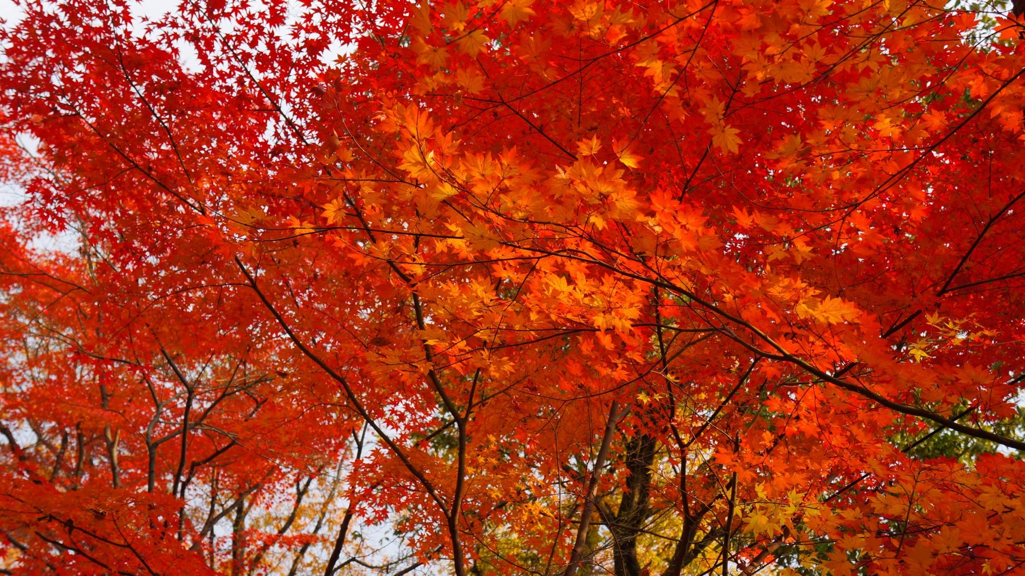 溢れる密度の濃い紅葉