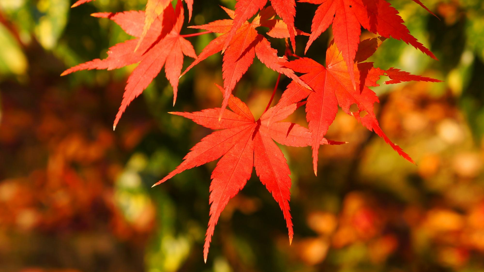 これぞ秋の紅葉と言うような綺麗な紅葉