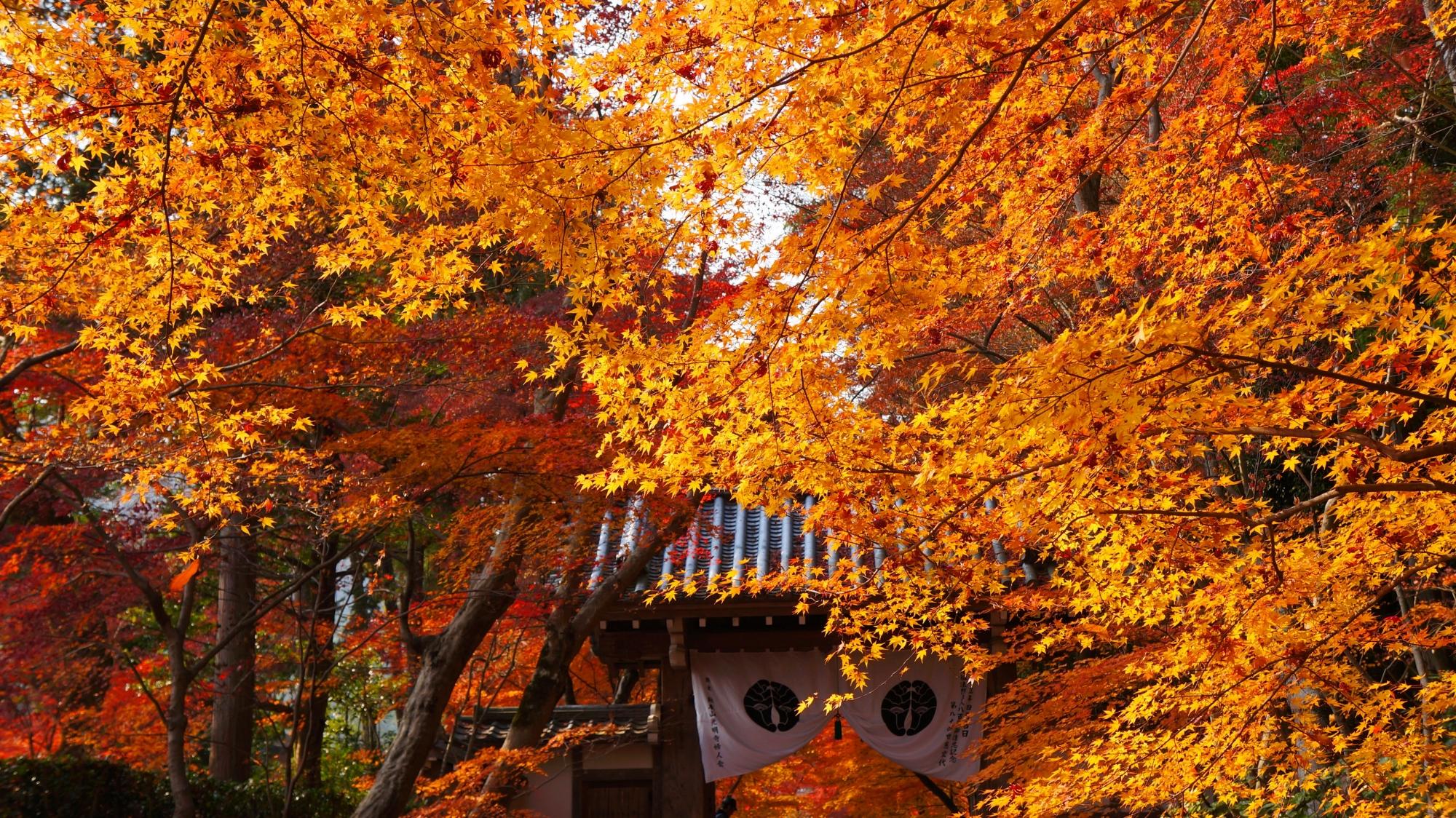 黄金の紅葉につつまれる光明寺の薬医門