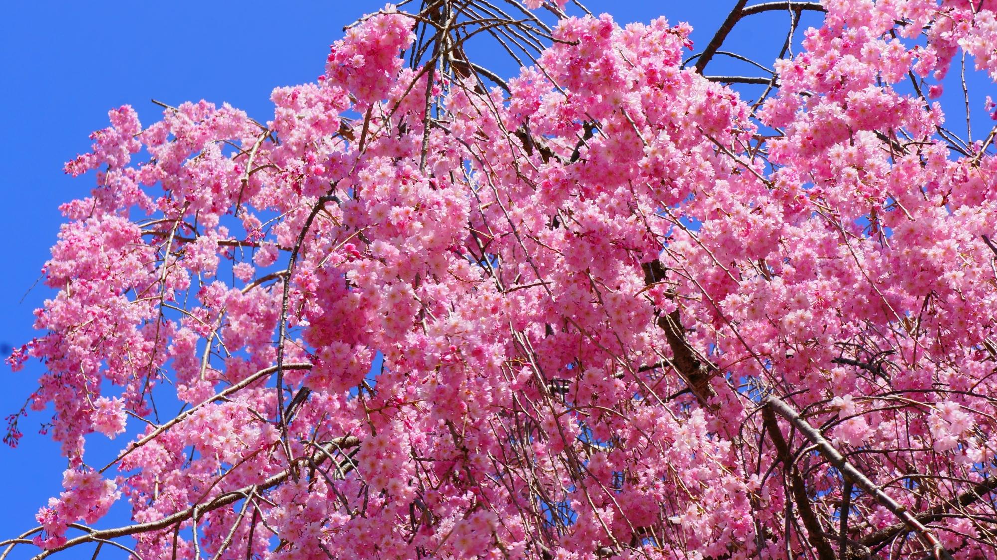 太陽を浴びて煌びやかに輝く桜