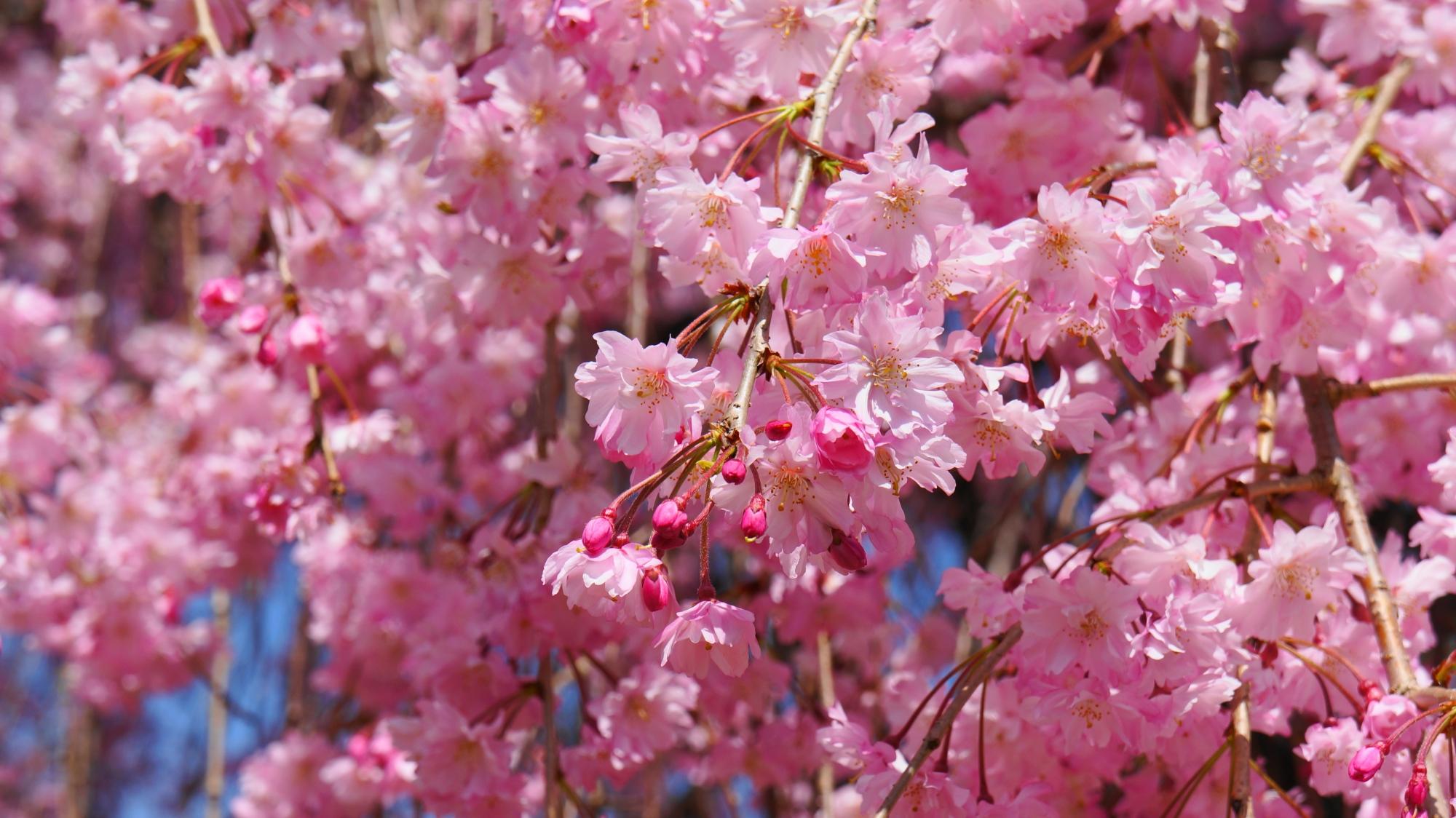 可愛いピンクの花で溢れる斎王桜