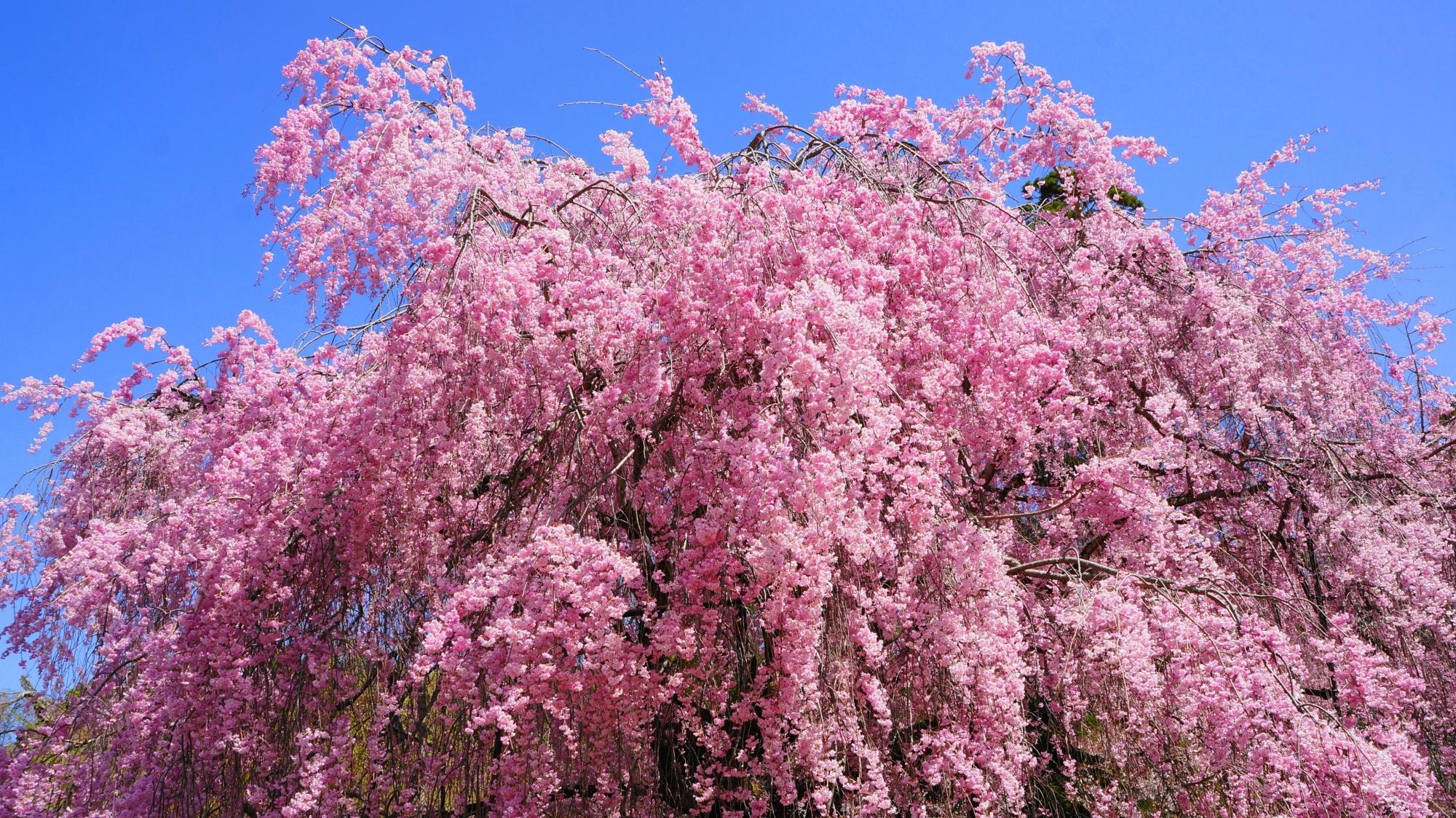 青空を華やかなピンクに彩るしだれ桜