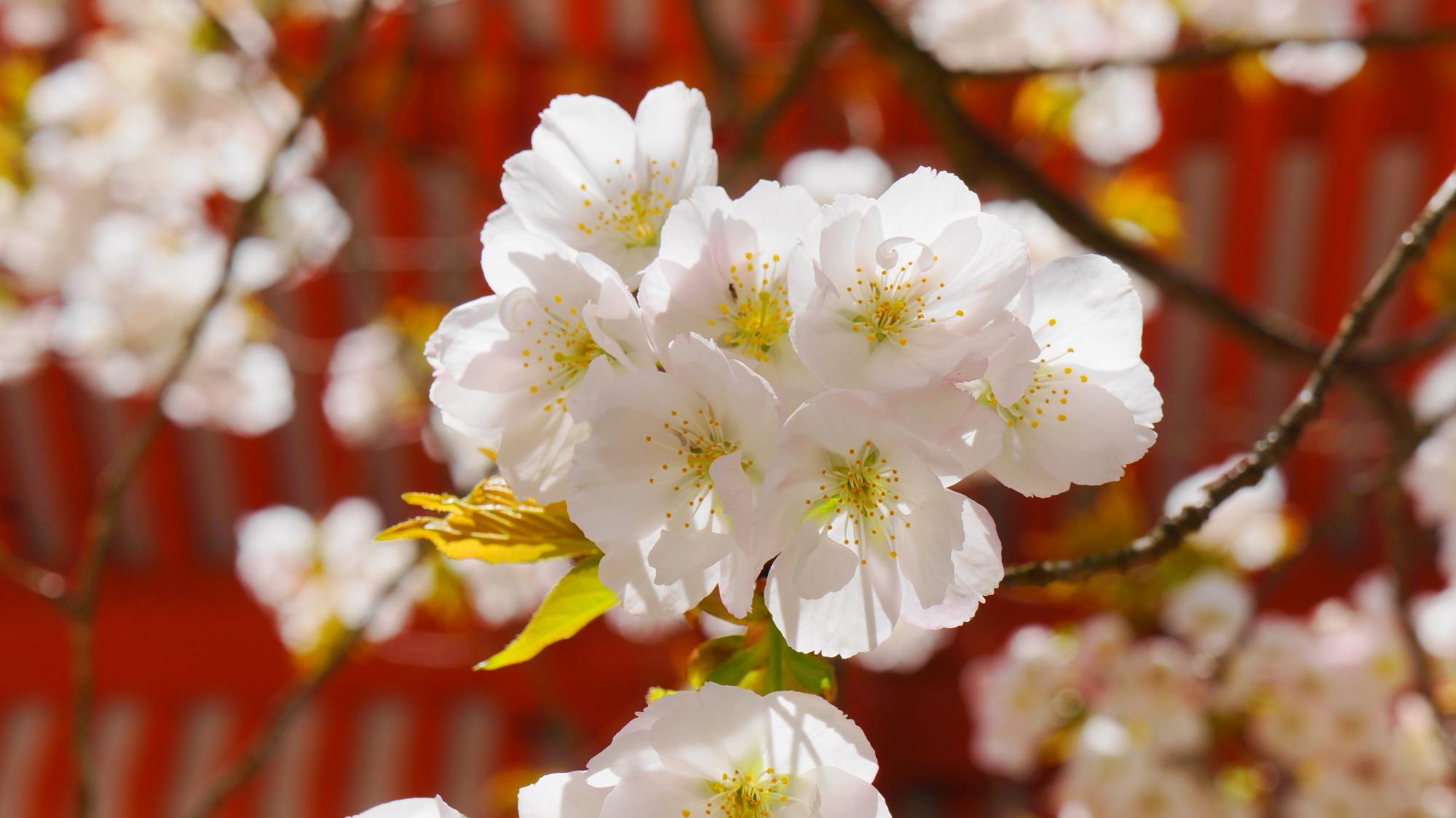 太陽を浴びて透けるような白い賀茂桜