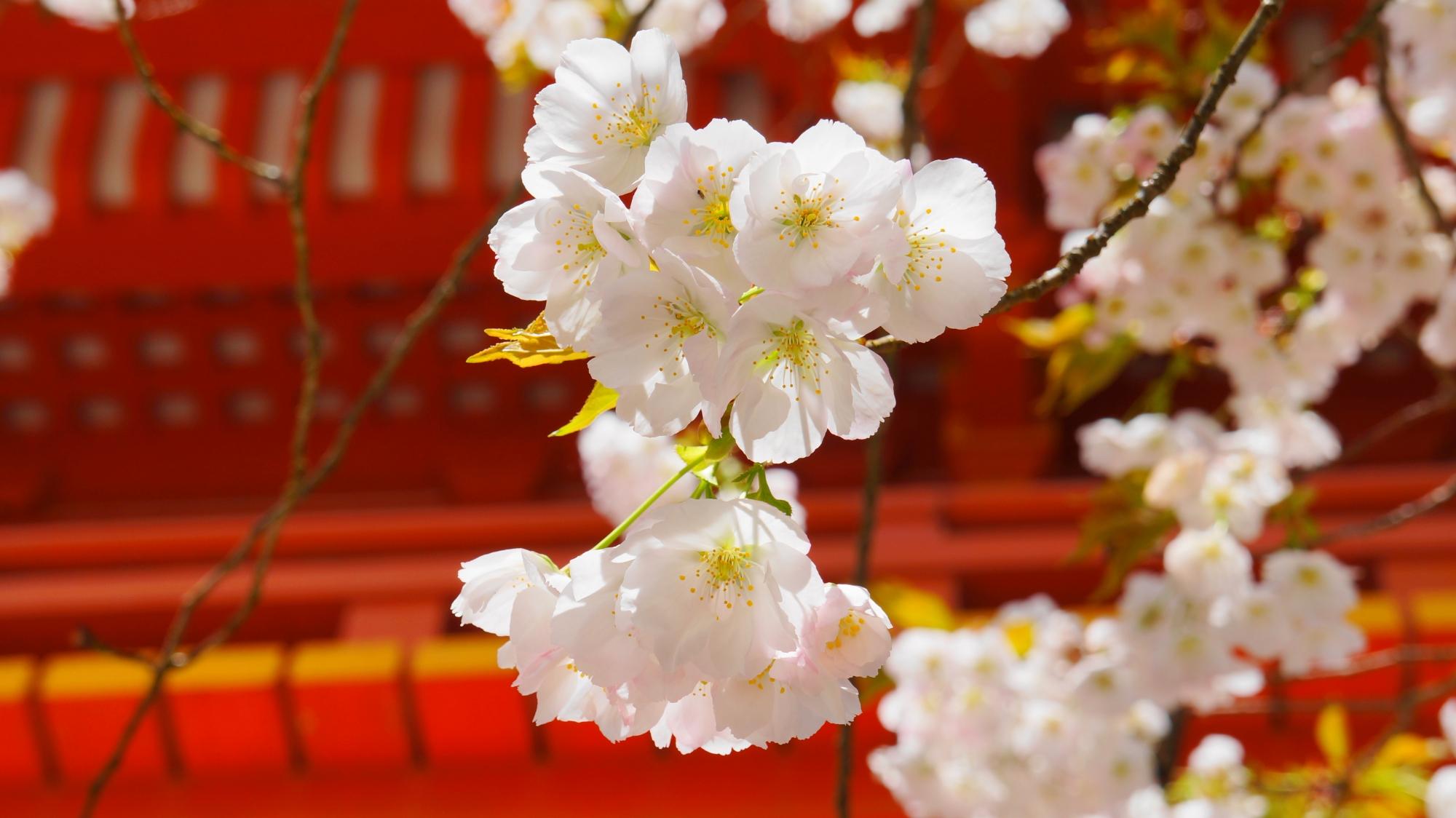赤い楼門を背景にした華やかな白い桜