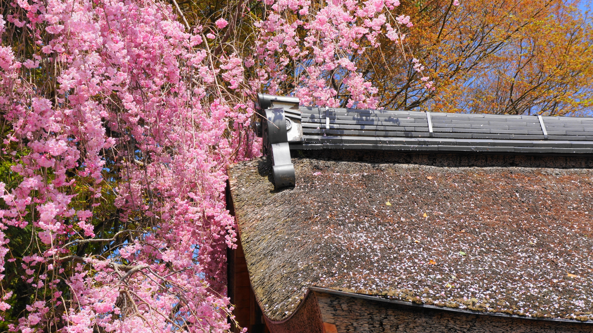 屋根に散るピンクの花びら
