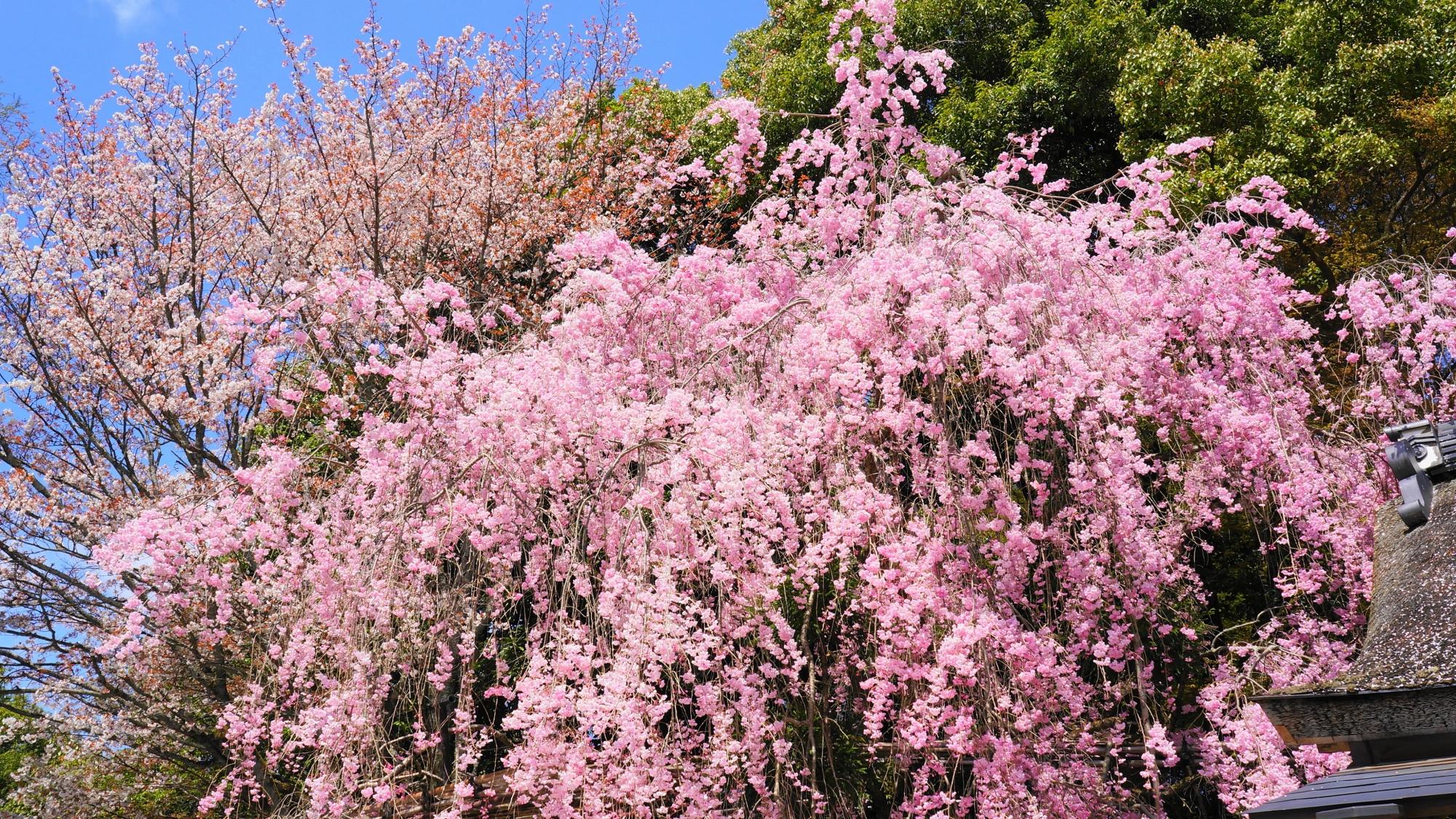 華やかなピンクのしだれ桜のみあれ桜