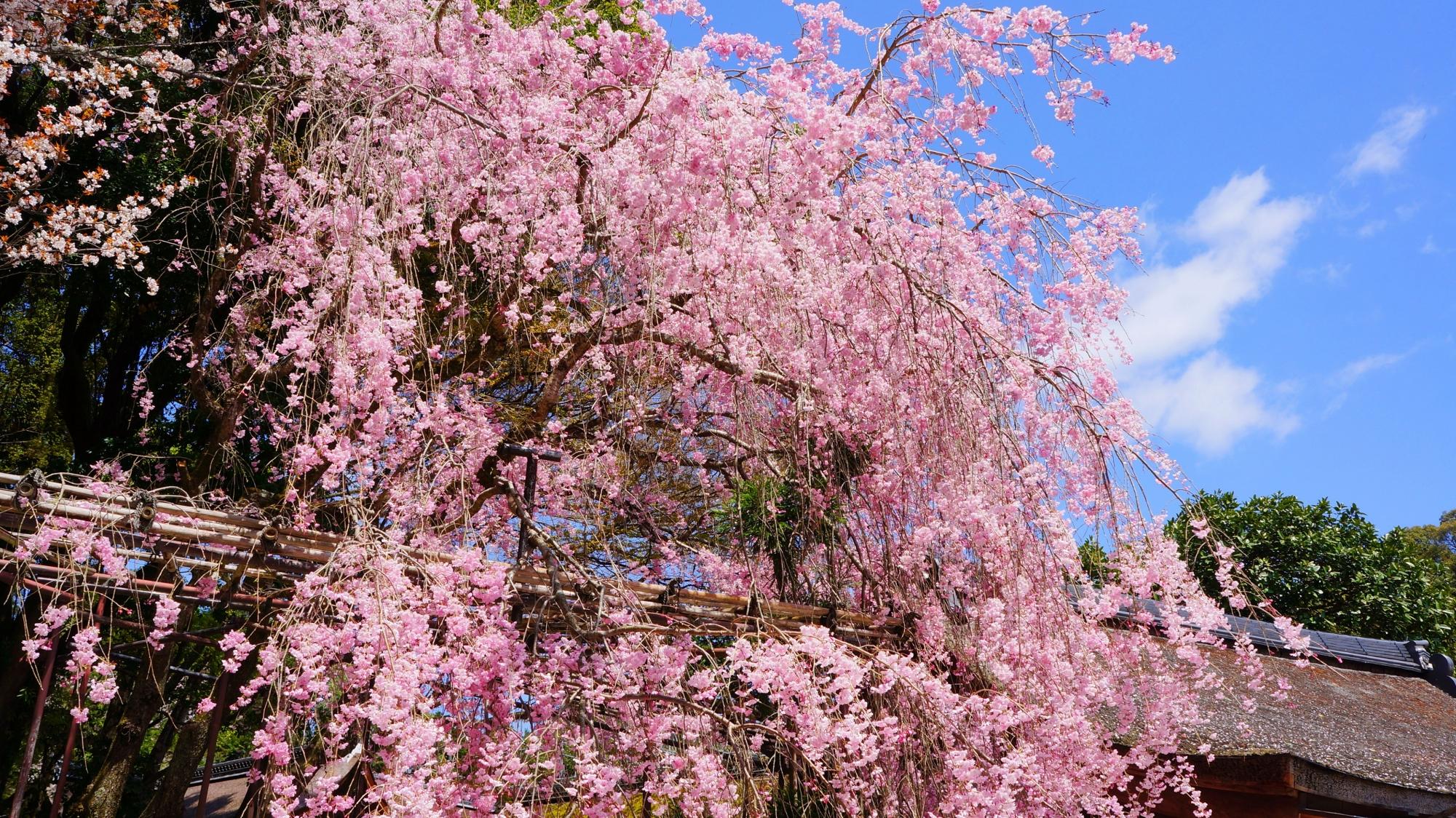 青空と境内を春色に彩る見事な桜