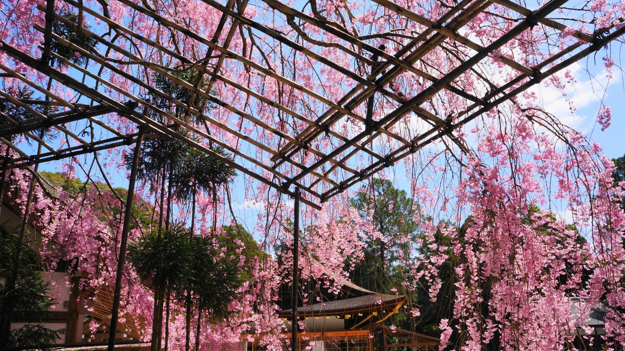 空から降り注ぐピンクのみあれ桜