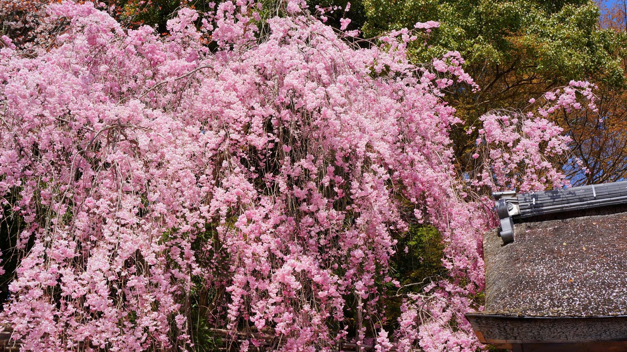 弾け飛びそうなくらい咲き誇るみあれ桜