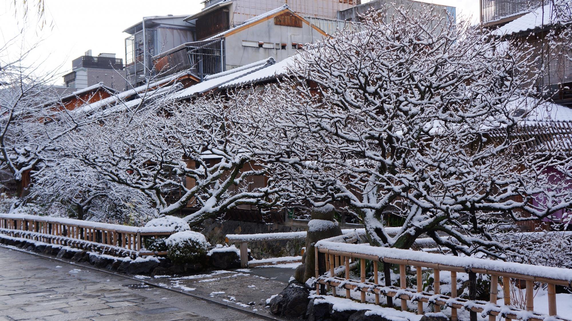 華やかな雪の花が咲く梅の木
