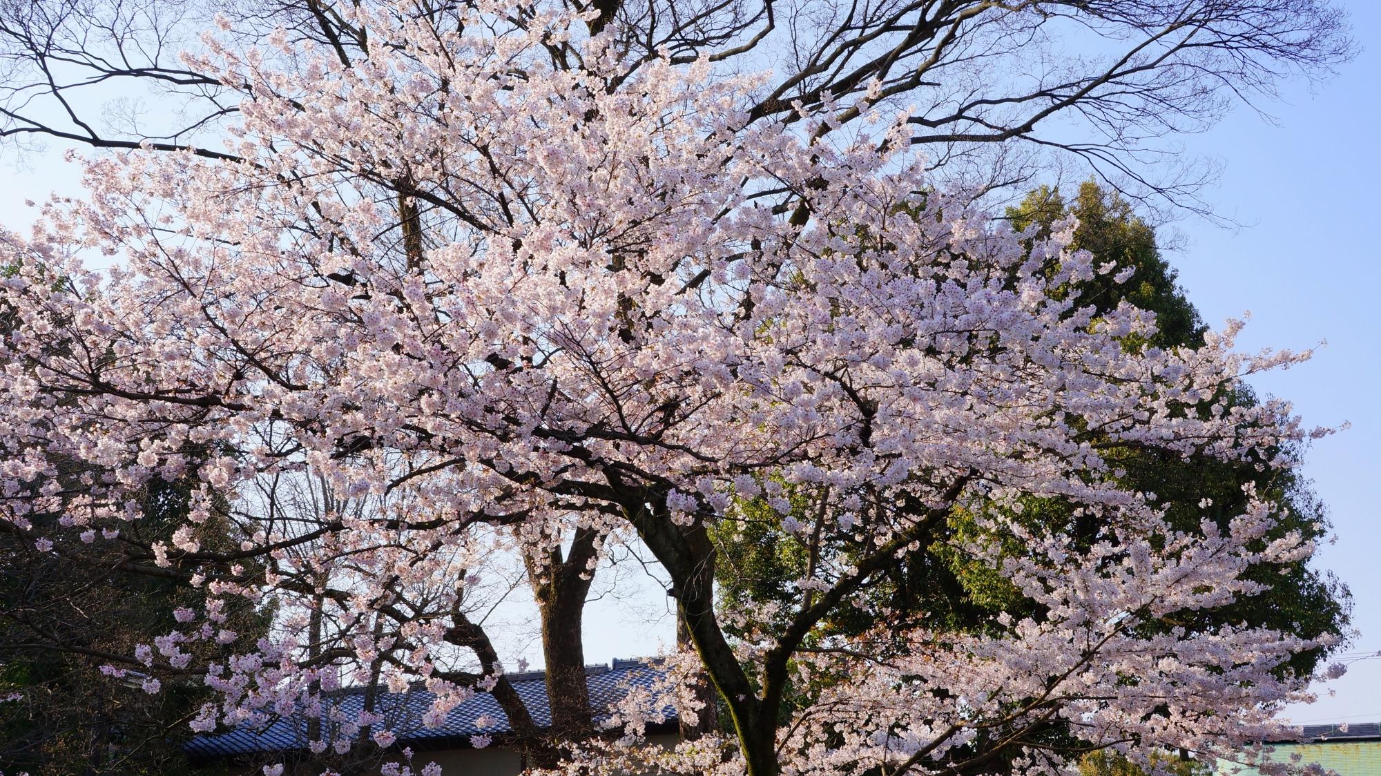 建仁寺の勅使門の桜