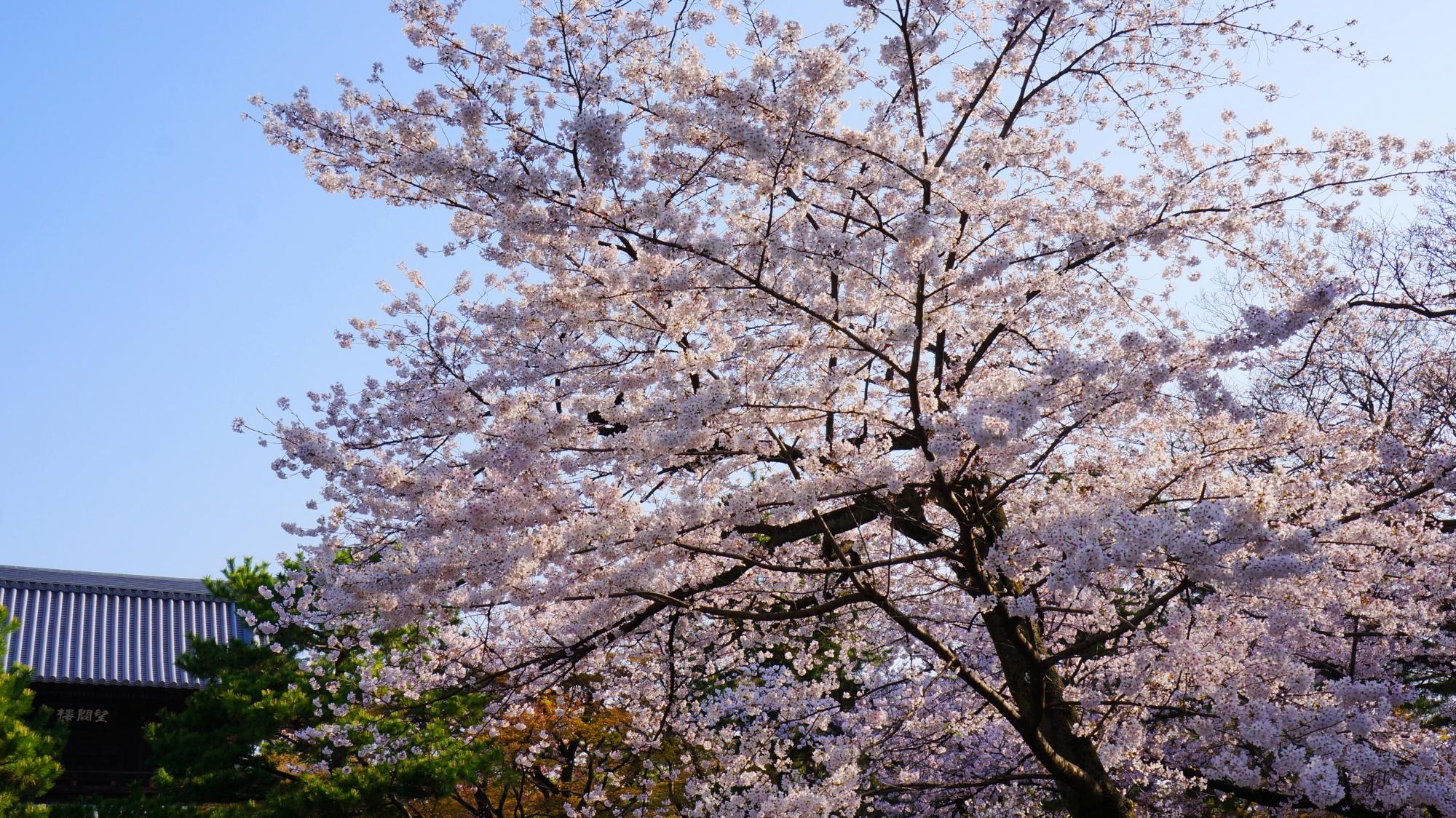 青空を華やかに彩る豪快に咲き誇る桜