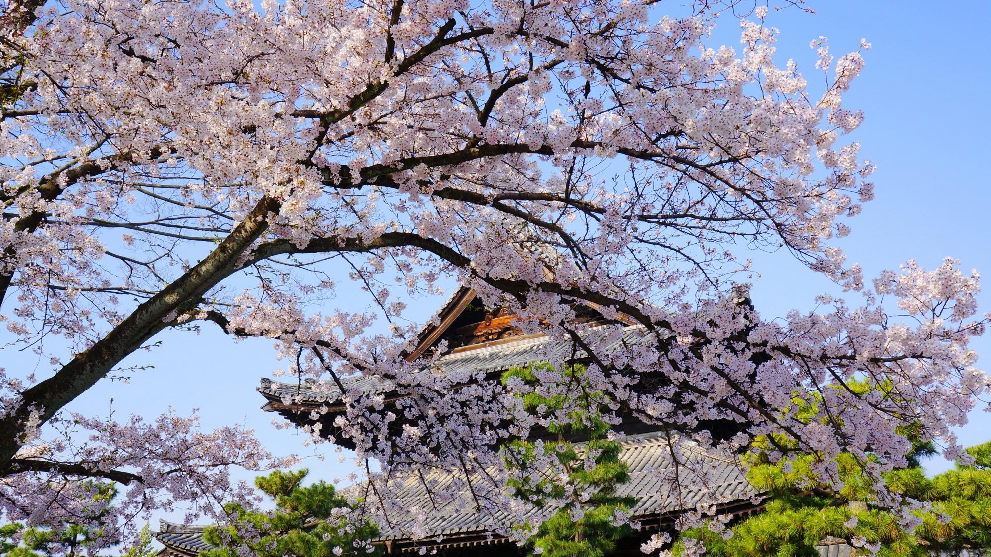 建仁寺の法堂と桜