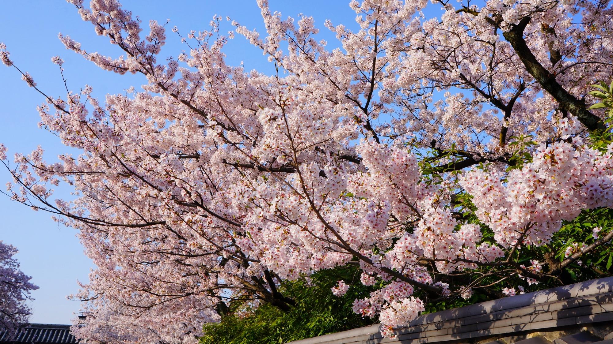 豪快に咲き誇るピンクの桜
