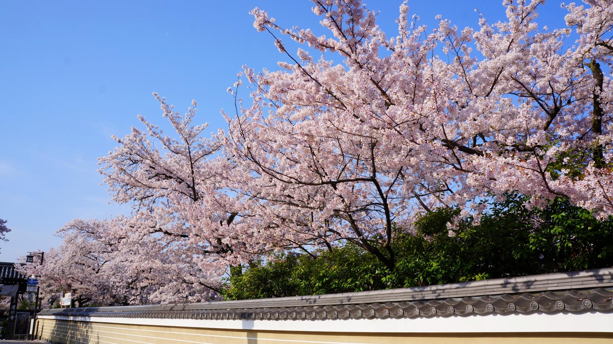 建仁寺の北側の花見小路通沿いの桜