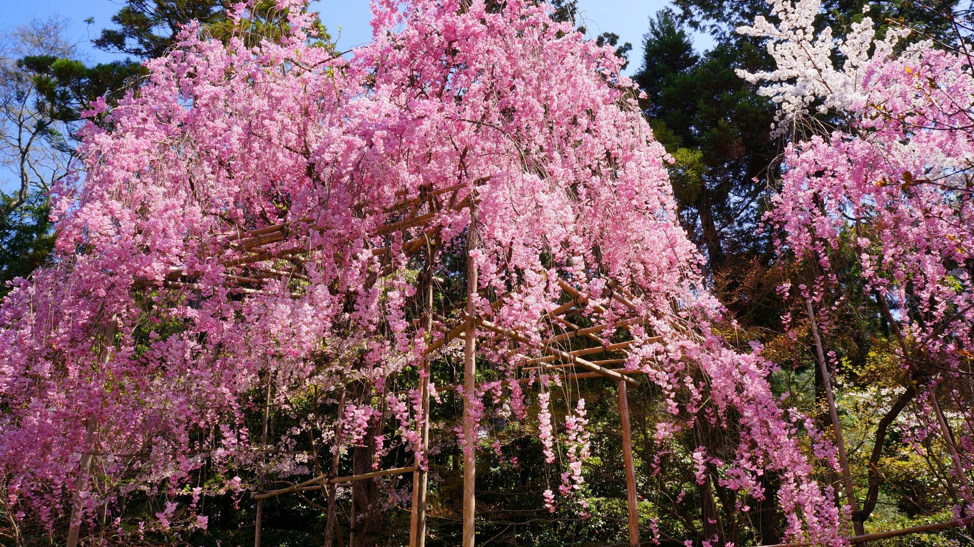 龍安寺の庫裡前の石段下の桜