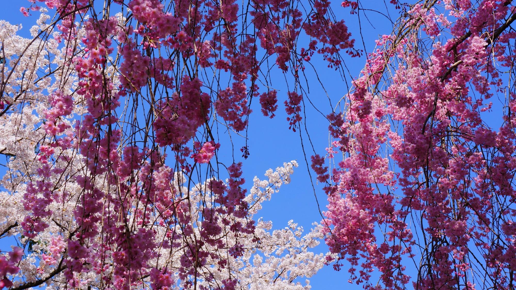 龍安寺の満開の紅白の桜
